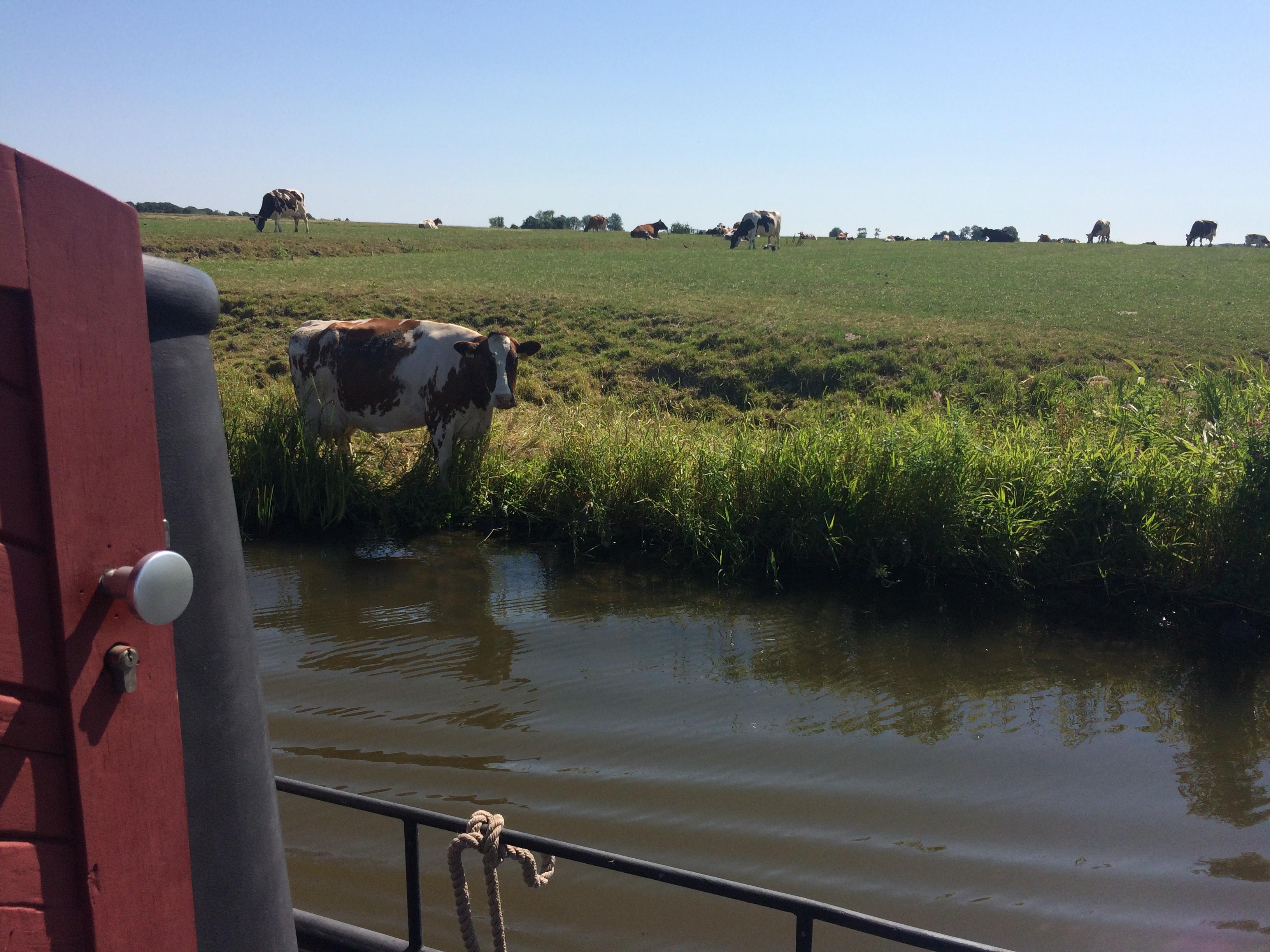 grüßende Kuh am Reitdiep