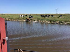 Kühe in den Niederlanden