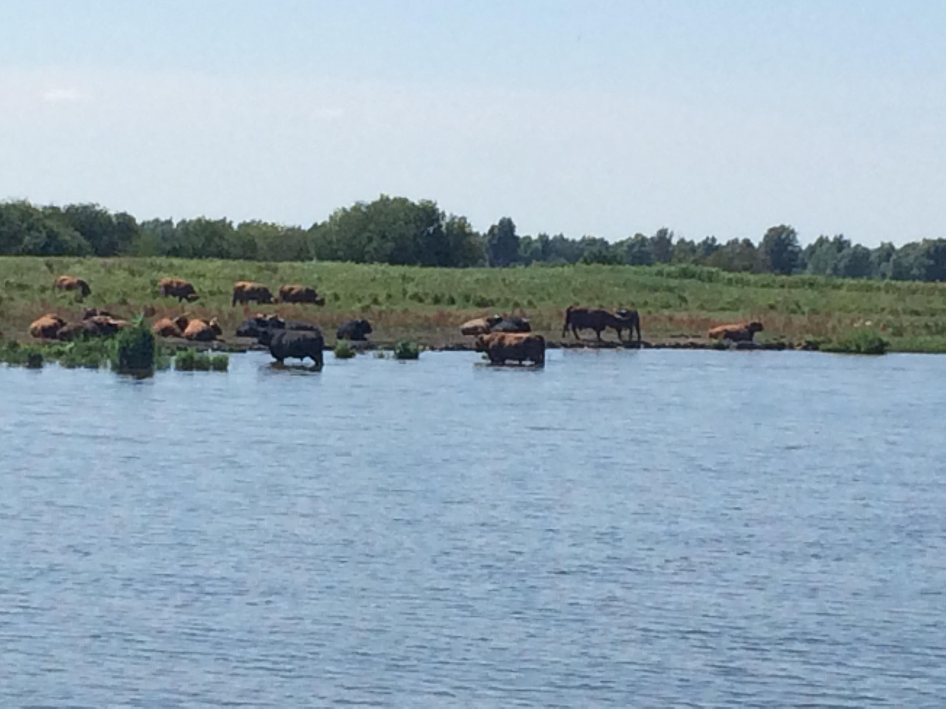 badende Rinder in den Niederlanden