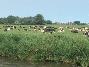 ganz viele Kühe